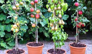 pomi-fructiferi-columnari